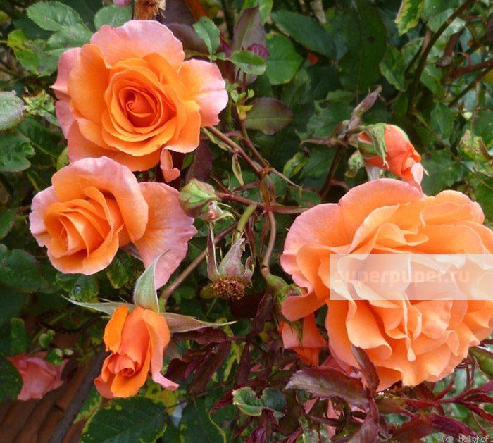 плетистая роза метанойя фото большей
