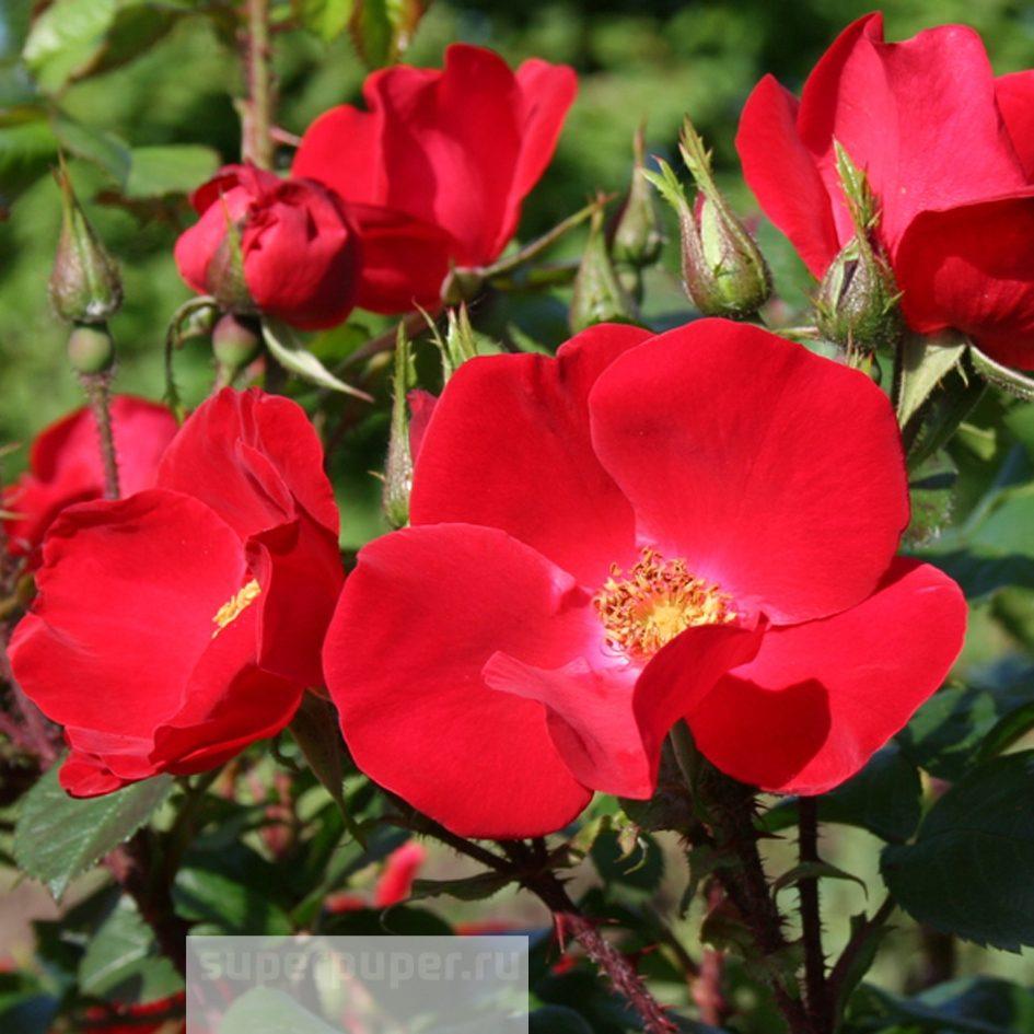 недавно фото сортов розы робусты семья