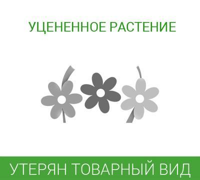 Цветы 93 • Антуриум Андре Монтана 14 55, со скидкой • Совместные ... 8260c6a2b72
