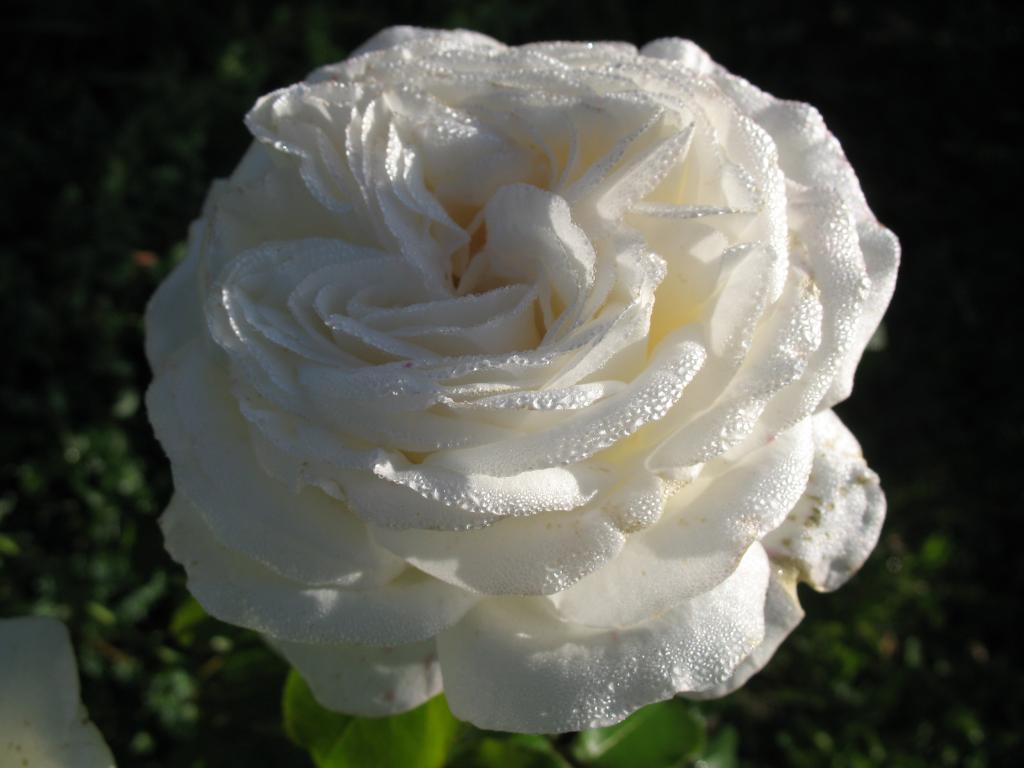 через копировальную роза меньян пьер ардити фото видели коллаборации ним